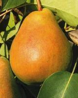 Hrušeň Erica - Pyrus Erica prostokořenná