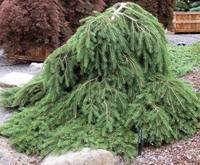 Smrk ztepilý 'Formánek' - Picea abies 'Formánek'