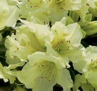 Rododendron 'Curlew' – Rhododendron 'Curlew'