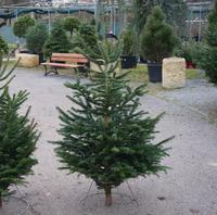 Vánoční stromek jedle kavkazská (Abies nordmanniana) Premium 130 -160 cm