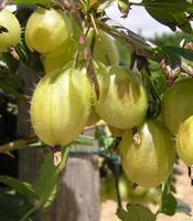 Angrešt žlutý Prima - Ribes uva-crispa Prima prostokořenný stromkový