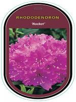 Rododendron (T) 'Rocket' – Rhododendron (T) 'Rocket'