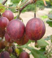 Angrešt červený Martlet - Ribes uva-crispa Martlet prostokořenný stromkový