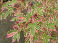Javor dlanitolistý 'Kagiri-Nishiki'-Acer palmatum 'Kagiri-Nishiki'