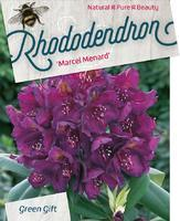 Rododendron (T) 'Manderley' - Rhododendron (T) 'Manderley'