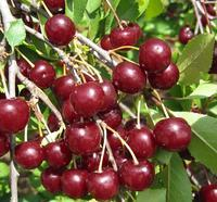 Višeň Fanal - samosrašná - Prunus Fanal