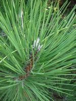 Borovice černá 'Buda' - Pinus nigra 'Buda'