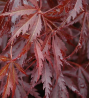 Javor dlanitolistý 'Burgundy Lace' - Acer palmatum