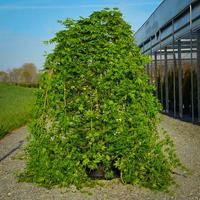 Javor dlanitolistý 'Ryusen' - Acer palmatum 'Ryusen'