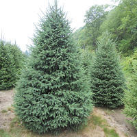 Smrk sivý - Picea glauca