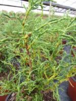 Cypřišek Lawsonův 'Lycopodioides' -Chamaecyparis lawsoniana 'Lycopodioides'