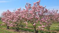 Šácholan 'Heaven Scent' - Magnolia 'Heaven Scent'
