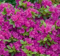 Azalea (J) 'Geisha Purple' – Azalka (J) 'Geisha Purple'