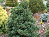 Borovice drobnokvětá 'Negishi' - Pinus parviflora 'Negishi'