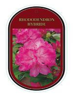 Rododendron (T) 'Eucharities' - Rhododendron (T) 'Eucharities'