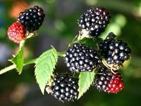Ostružiník 'Black Satin' - Rubus fruticosus 'Black Satin'