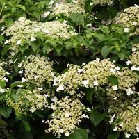 Hortenzie řapíkatá - Hydrangea petiolaris
