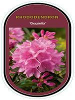 Rododendron (T) 'Graziella' - Rhododendron (T) 'Graziella'