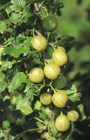 Angrešt žlutý 'Lady Sun' - Ribes uva-crispa 'Lady Sun' keřový
