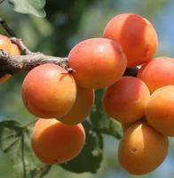 Meruňka Goldrich - Prunus