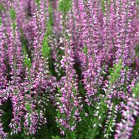 Vřes obecný 'Amethyst' - Calluna vulgaris 'Amethyst'