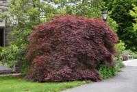 Javor dlanitolistý 'Tamukeyama' - Acer palmatum 'Tamukeyama'