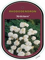 Rododendron 'Artictern' – Rhododendron 'Artictern'