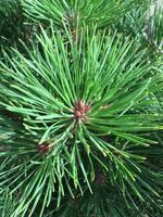 Borovice černá 'Brepo' - Pinus nigra 'Brepo'
