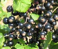 Rybíz nigra 'Triton' - Ribes nigra 'Triton' prostokořenný stromkový