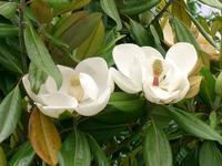 Šácholan velkokvětý 'Ferruginea' - Magnolia grandiflora 'Ferruginea'