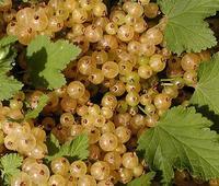 Rybíz bílý 'Primus' - Ribes 'Primus' prostokořenný stromkový