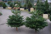 Vánoční stromek jedle kavkazská (Abies nordmanniana) standard 130 -175 cm