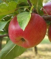 Jabloň Rosana - Malus Rosana prostokořenná