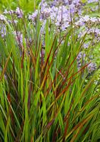 Proso prutnaté 'Rotstrahlbush' - Panicum virgatum 'Rotstrahlbush'