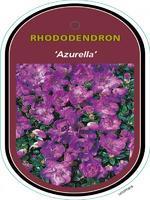 Rododendron 'Azurella' – Rhododendron 'Azurella'