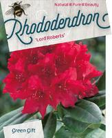 Rododendron 'Lord Roberts' – Rhododendron 'Lord Roberts'