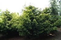 Tis červený 'Dovastonii Aurea' - Taxus baccata 'Dovastonii Aurea'