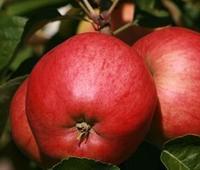 Jabloň Petra - Malus Petra prostokořenná