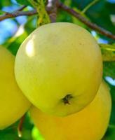 Jabloň Golden delicious  - Malus Golden delicious prostokořenná