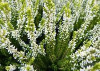 Vřes obecný 'Elisa' - Calluna vulgaris 'Elisa'