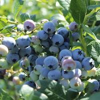 Borůvka chocholičnatá 'Bluegold' - Vaccinium corymbosum 'Bluegold'