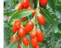 Kustovnice čínská GojiI - Lycium chinense Goji