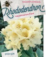 Rododendron (Y) 'Flava' – Rhododendron (Y) 'Flava'