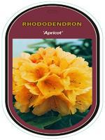 Rododendron (T) 'Apricot'-Rhododendron (T) 'Apricot'