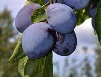 Švestka Tegera - samosprašná - Prunus domestica Tegera - prostokořenná