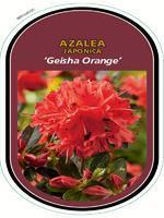 Azalea (J) 'Geisha Orange' – Azalka (J) 'Geisha Orange'