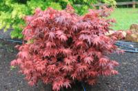 Javor dlanitolistý 'Shaina' - Acer palmatum 'Shaina'
