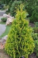 Zerav západní 'Yellow Ribbon' - Thuja occidentalis 'Yellow Ribbon'