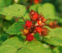 Ostružiník japonský - Rubus phoenicolasius