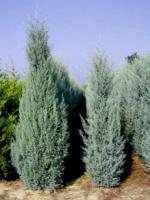 Cypřiš arizonský 'Fastigiata' - Cupressus arizonica 'Fastigiata'